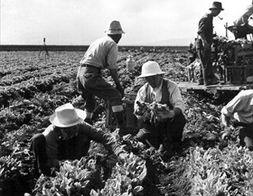 Japanese American internment: Harvesting spinach, Tule Lake, September 1942
